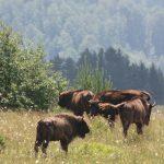 free-European-bison-2